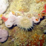 Anemone and sponges; Brighton Marina, Sussex