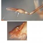 Chthonius tetrachelatus pedipalp