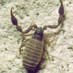 Dactylochelifer latreillei