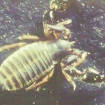 Dendrochernes cyrneus