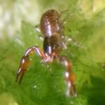 Microbisium brevifemoratum