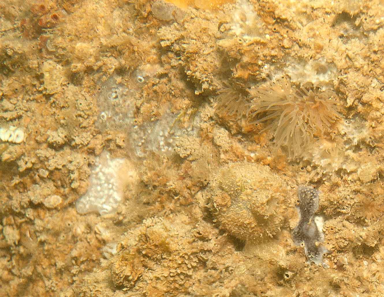Anemone, Diadumena?, sponges, squirts