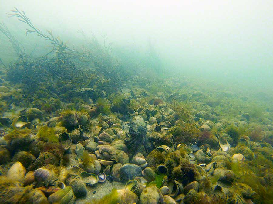 Seabed dominated by slipper limpets, Crepidula fornicata