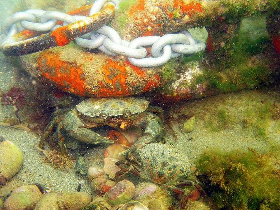 Shore crab, Carcinus maenas
