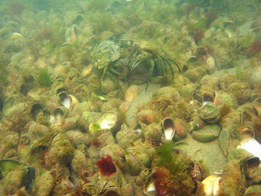 Shore crabs, Carcinus meanas arguing among slipper limpets, Crepidula cornicata, on sand