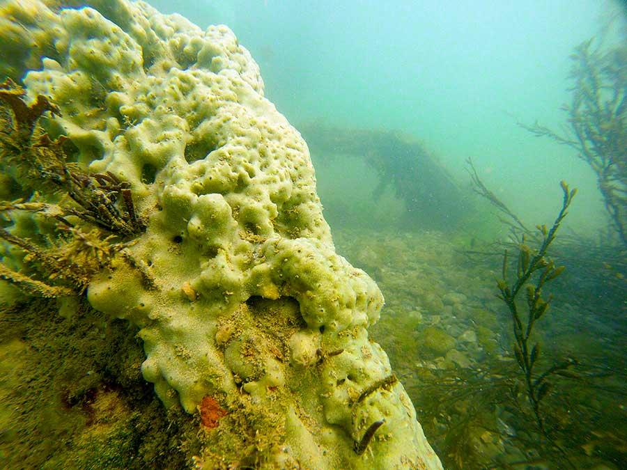 Car wreck with breadcumb sponge, Halichondria panicea