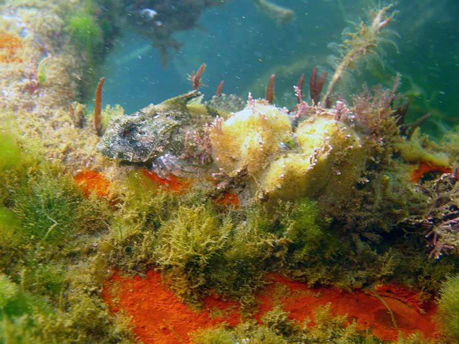 Seascorpion, Taurulus bubalis, and sponges on wrecked car