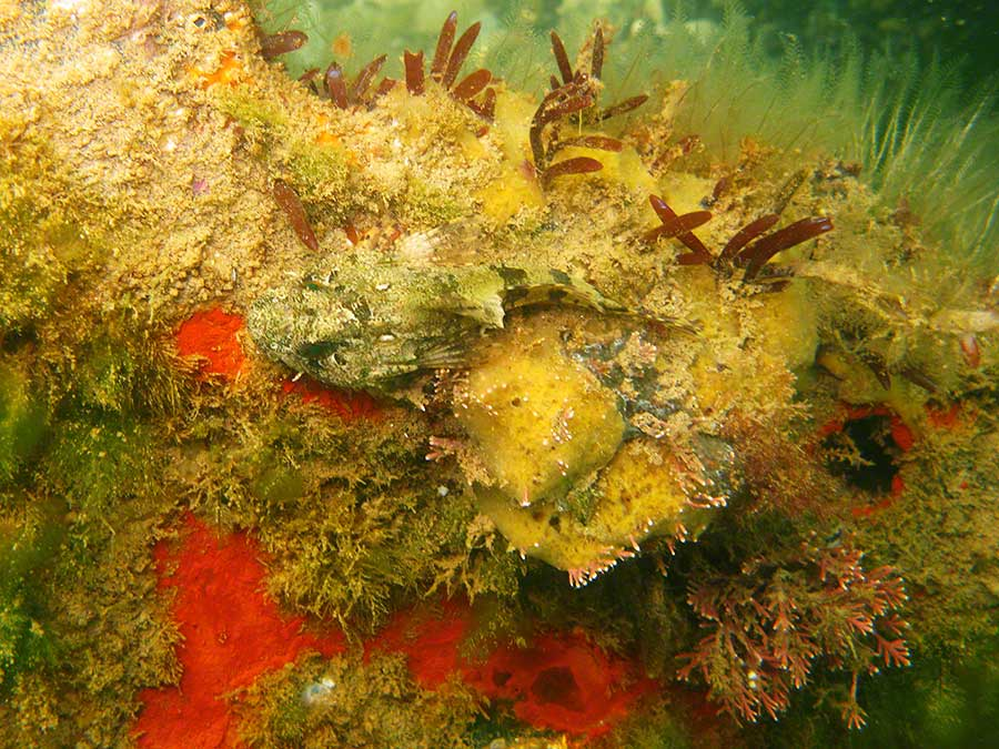 Sea scorpion, Taurulus bubalis, with sponges, coral weed, Corallina officinalis, hydroids etc on car wreck