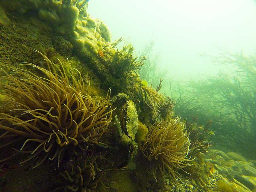 Shore crab, Carcinus maenas, among snakelocks anemones, Anemonia viridis,