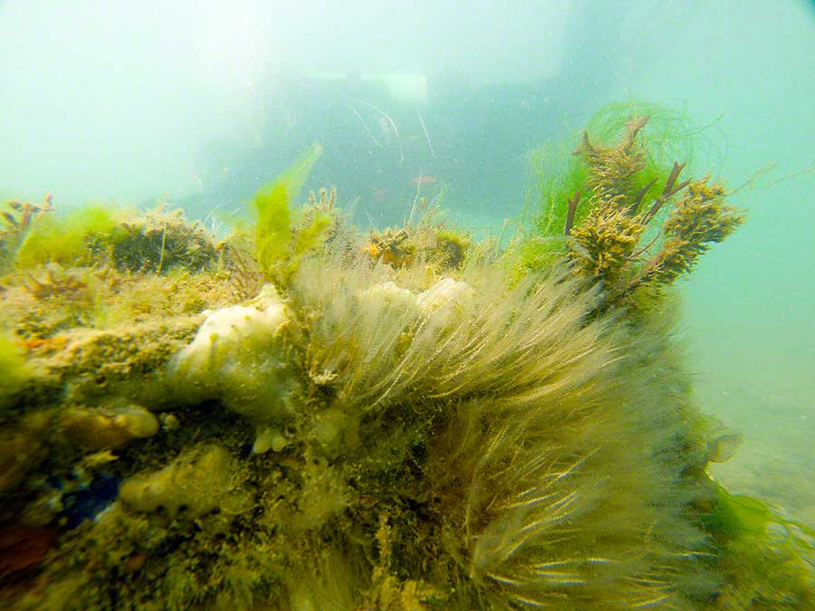 Hydroids, Plumularia/Kirchenpaueria and sponges