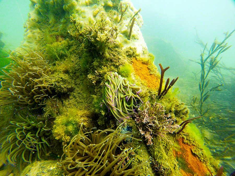 Car wreck with Snakelocks anemones, Anemonia virids, sponges