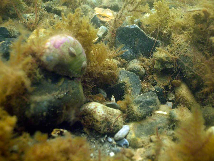 Slipper limpet, Crepidula fornicata, on Slipper limpet on flint