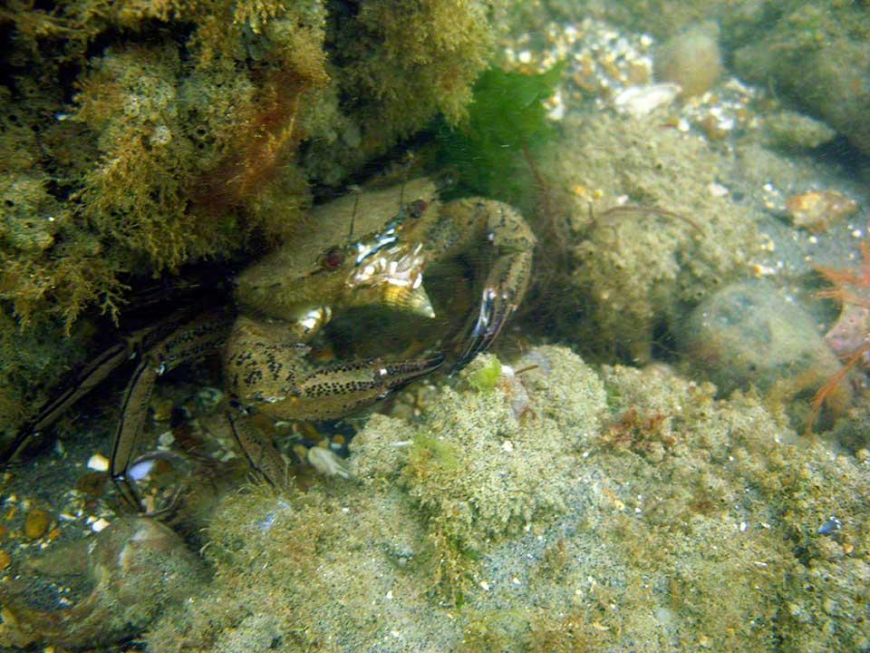 Velvet swimming crab, Necora puber, eating netted dogwhelk, Hinia reticulata