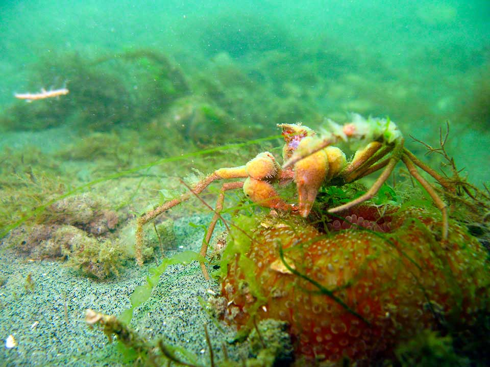 Spider crab, Inachus dorsettensis with sponges, standing on a contracted Dahlia anemone, Urticina felina.