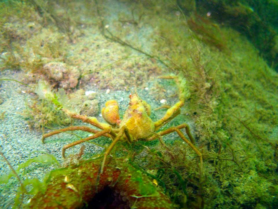 Spider crab, Inachus dorsettenis with sponges