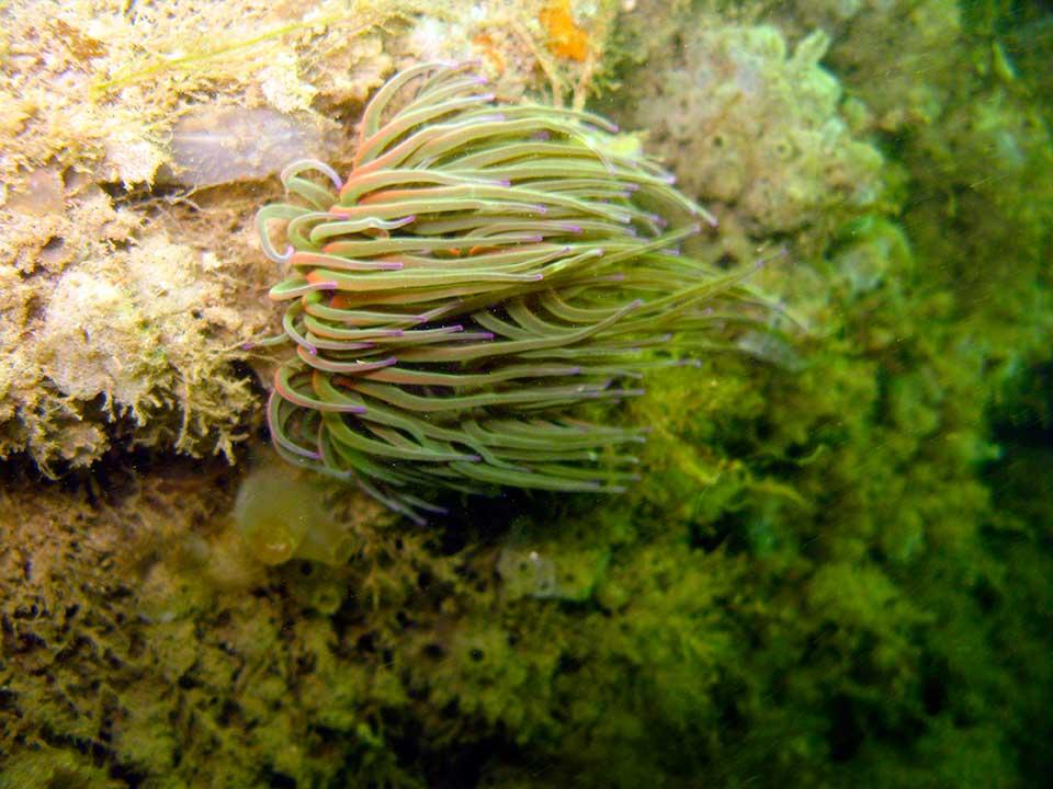 Sea squits and snakelocks anemone, Anemonia viridis