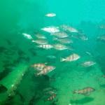 199_Bib, Trisopterus luscus, shoaling around the wreck