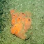 215_Sponge, Suberites ficus