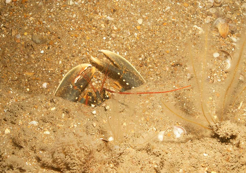 Betsy_Anna-lobster