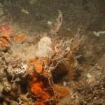 W_Bottom_cliff_sponges_bryozoa_Tubularia