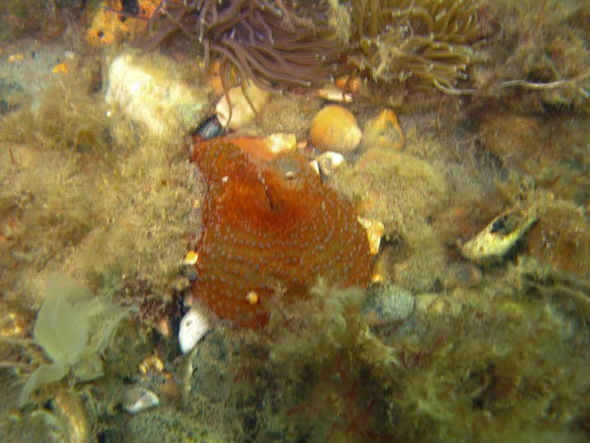 Dahlia anemone, Urticina felina, contracted