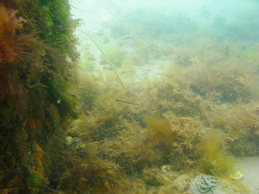 Wooden breakwater with painted gobies, Pomatoschistus pictus