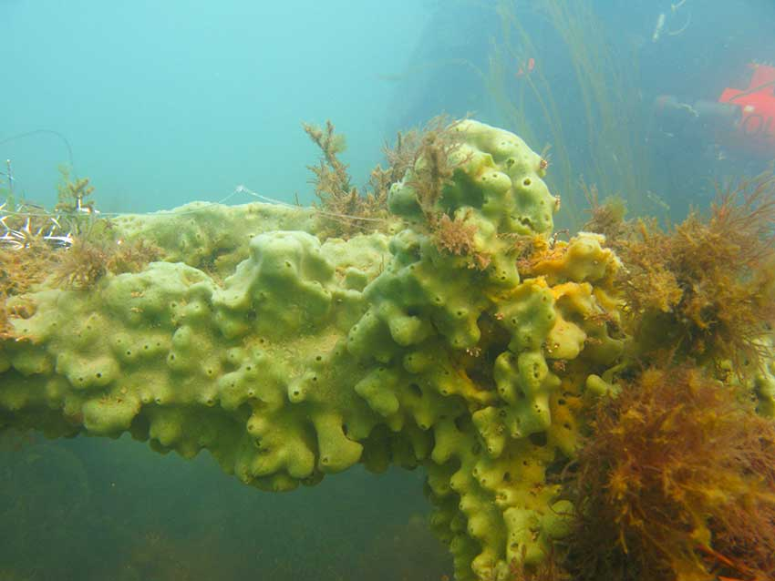 Breadcrumb sponge, Halichondria panicea etc on wrecked car