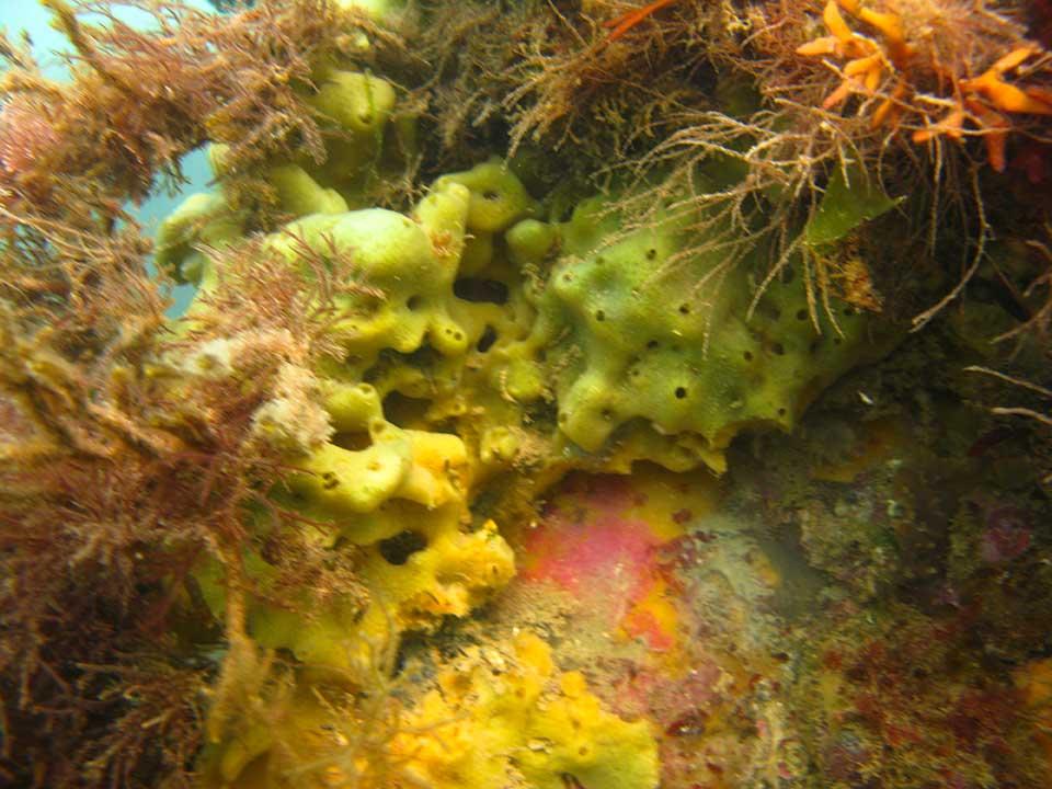 Breadcrumb sponge, Halichondria panicea etc