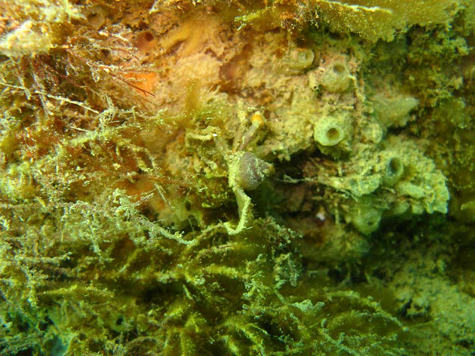 Spider crab, Inachus dorsettensis, and sea squirts