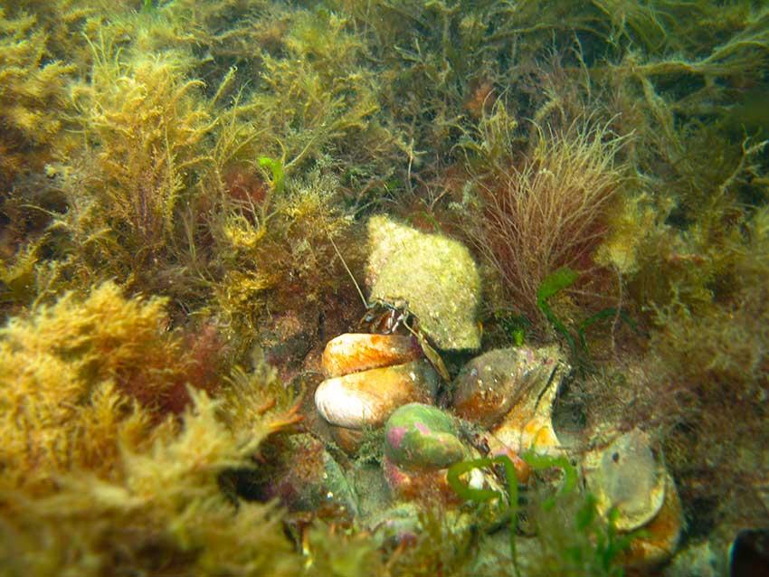Hermit crab, Pagurus berhardus, in dogwhelk shell, Nucella lapillus