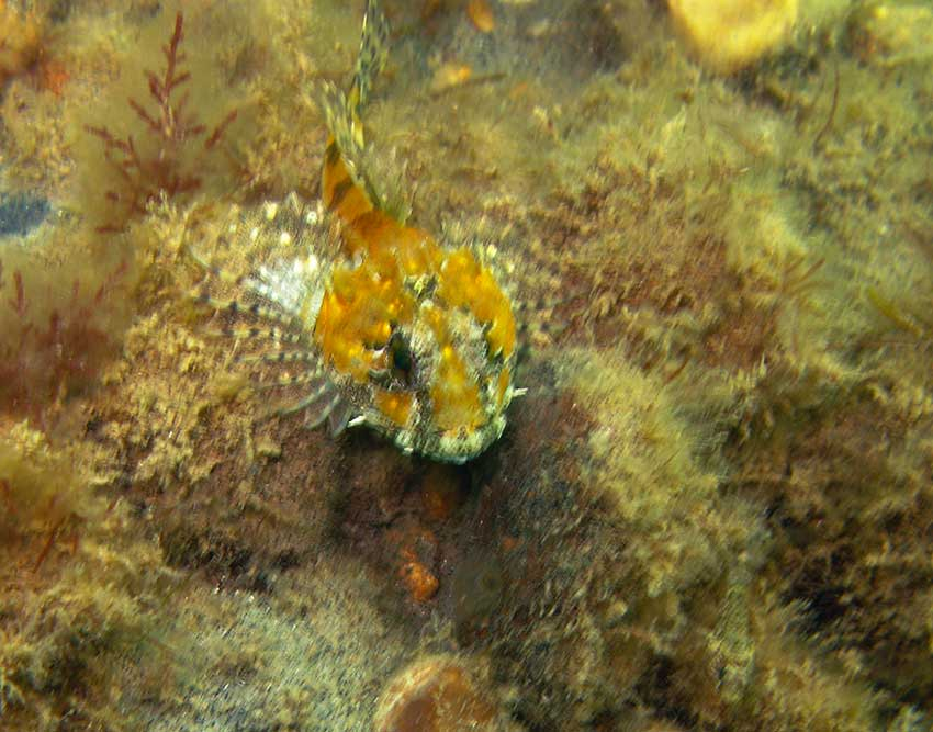 Sea scorpion Taurulus bubalis
