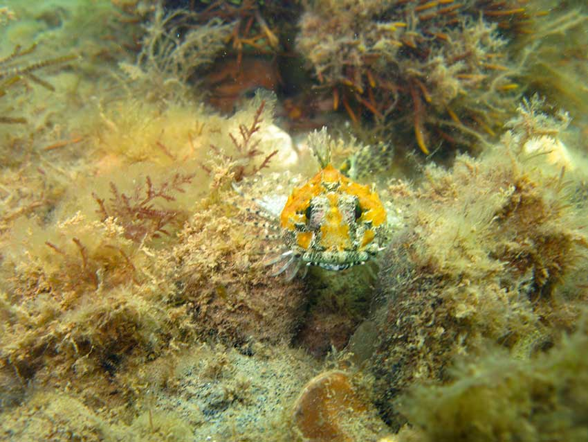Sea scorpion Taurulus bubalis