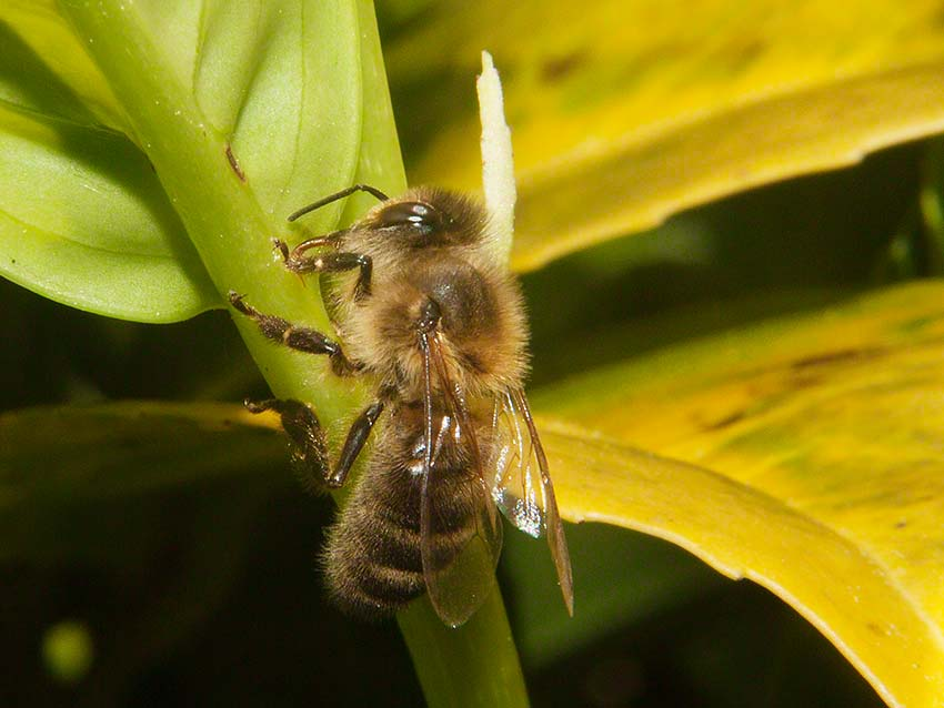 Honey bee feeding at laurel extra-floral nectary
