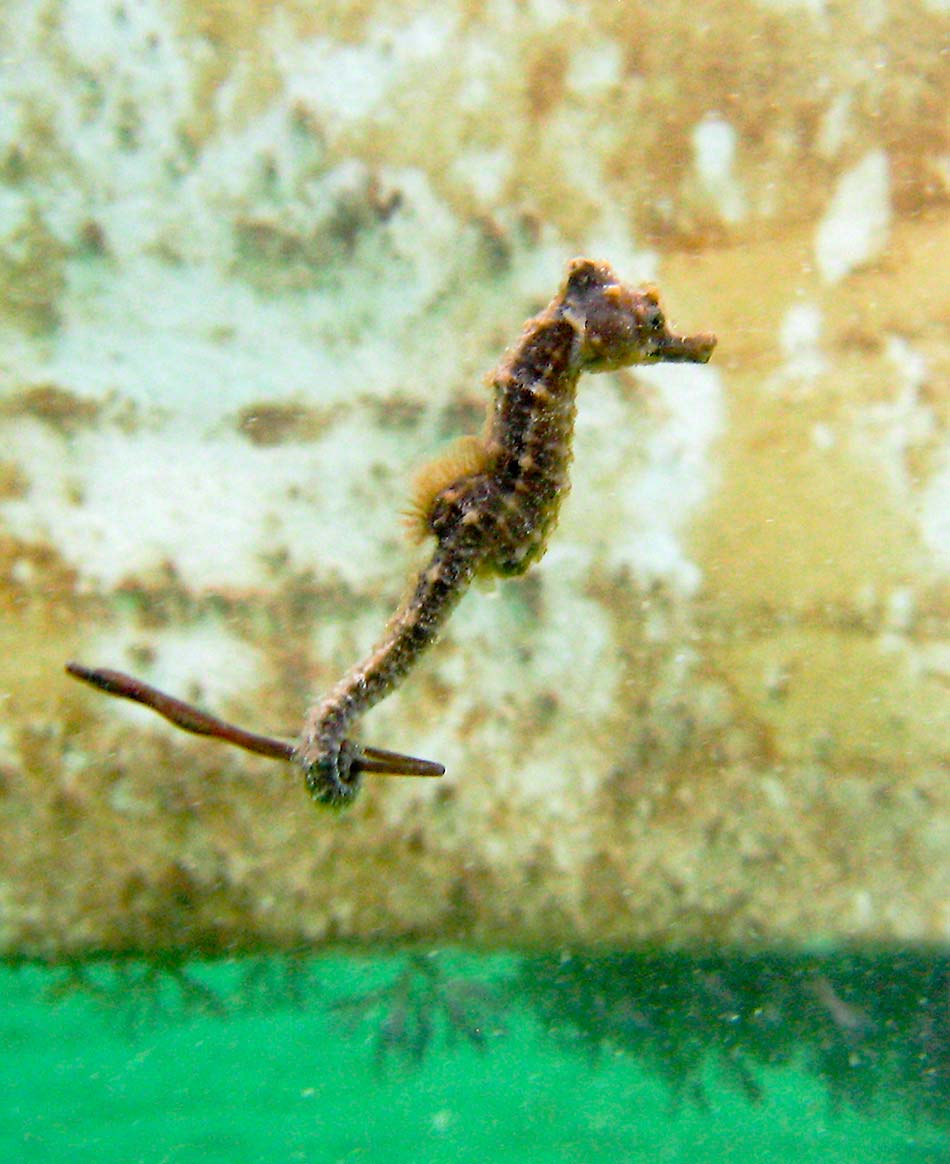 Short-snouted Seahorse holding on to a poor little Snake Pipefish