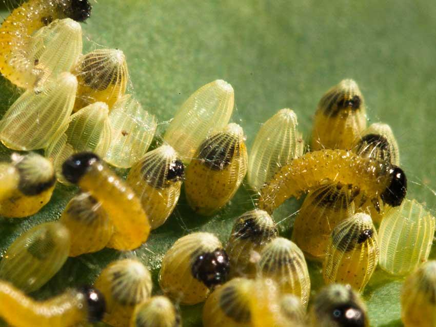 Large White, Peiris brassicae caterpillars hatching 5