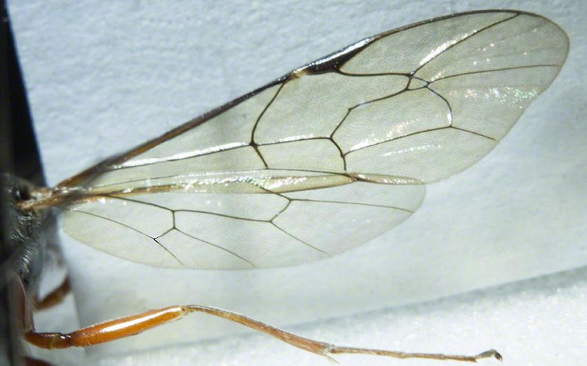 Details of ichneumon wing