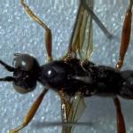 Dorsal view of ichneumon
