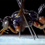 Lateral view of ichneumon