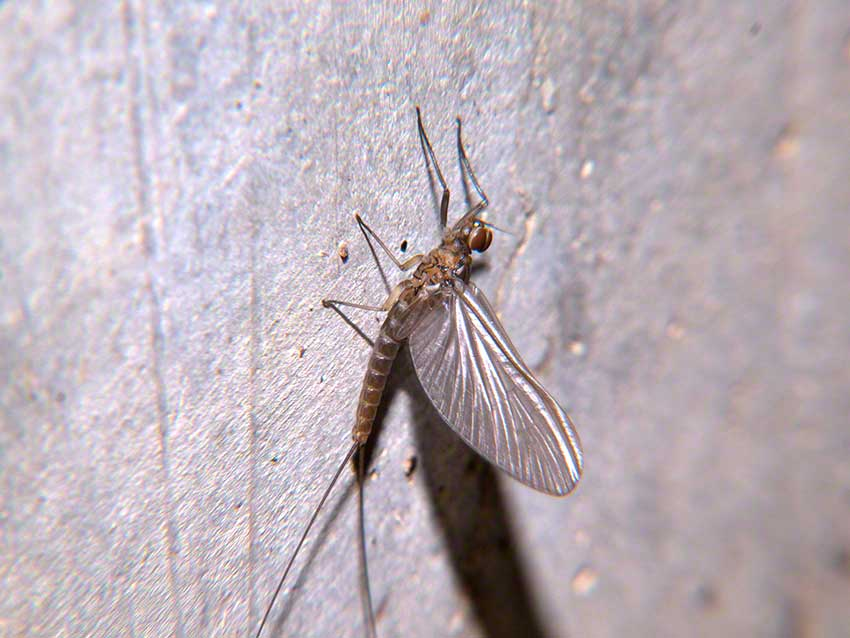 Mayfly resting on wall of culvert.