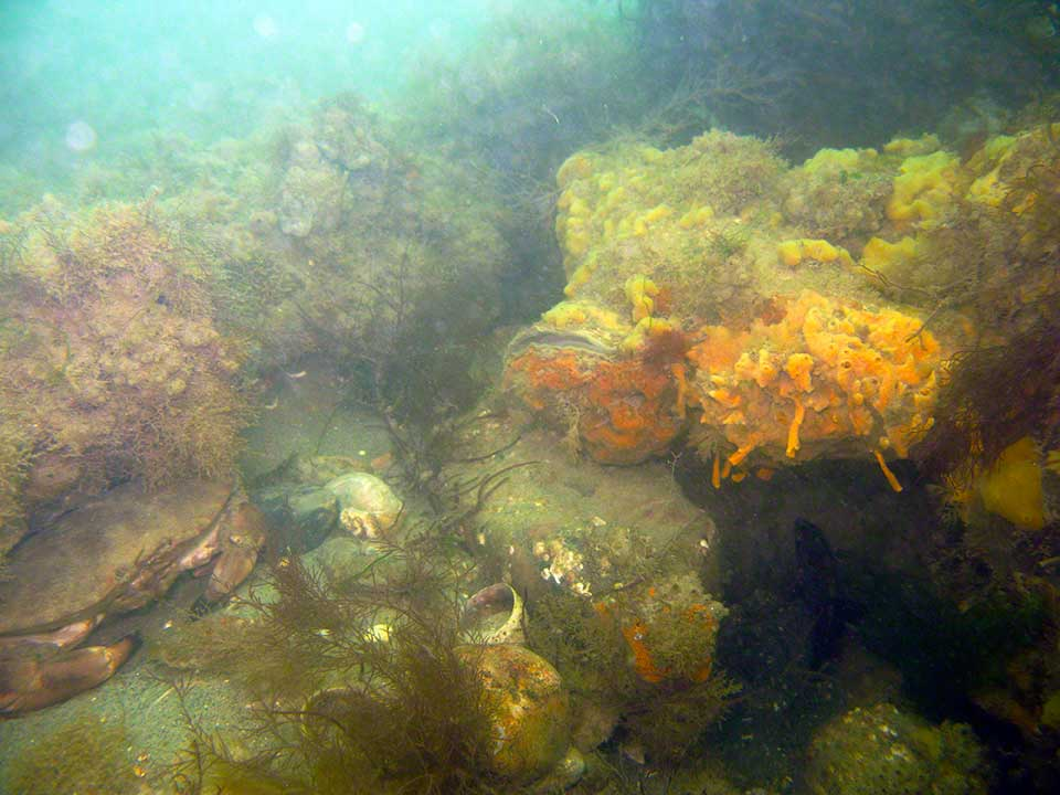 Edible, or Brown crab, Cancer pagurus and sheredded-carrot sponge, Amphilectus fucorum