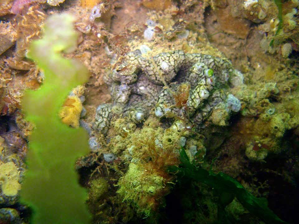 Sea squirt Didenum coriaceum