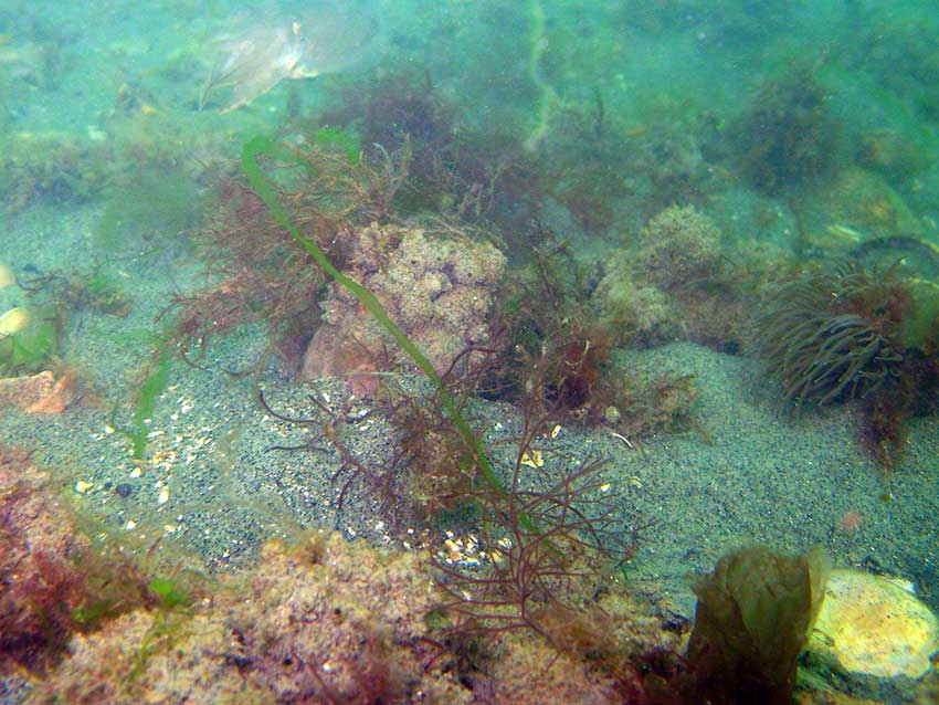Sea squirt Molgula manhatenensis