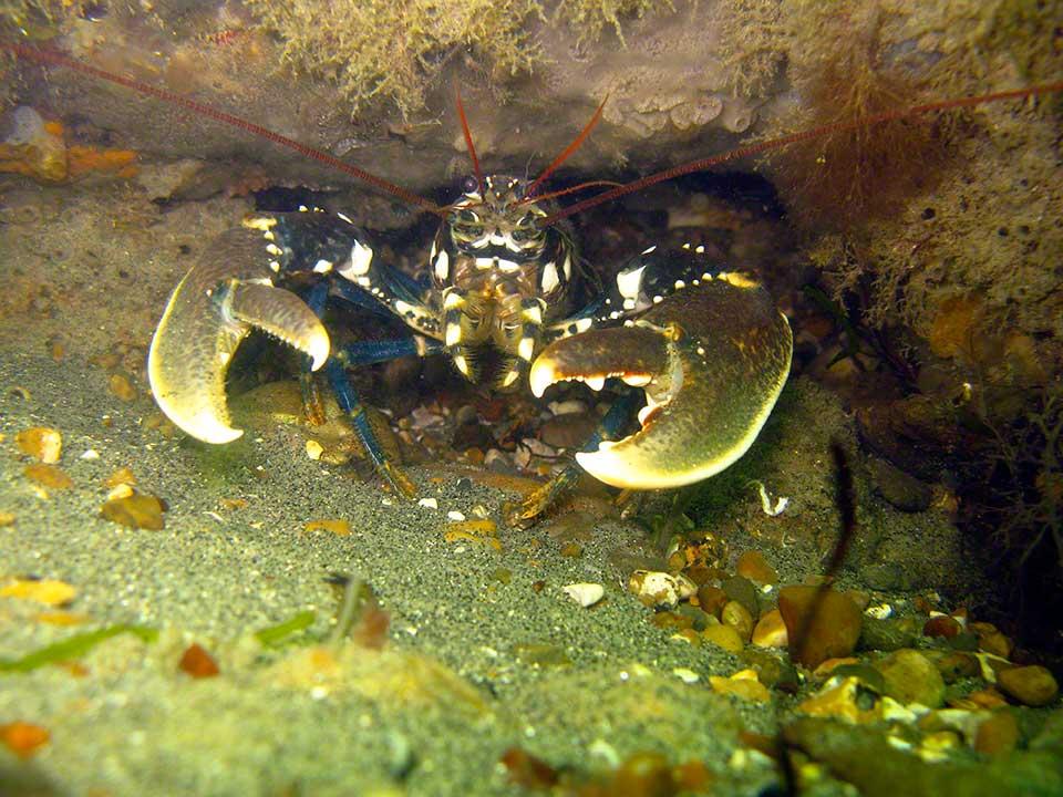 Lobster, Homarus gammarus