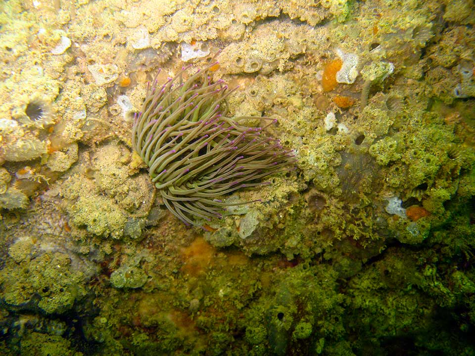 Snakelocks anemone, Anemonia viridis and sponges