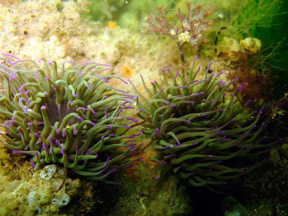 Snakelocks anemone, Anemonia viridis and sponges etc