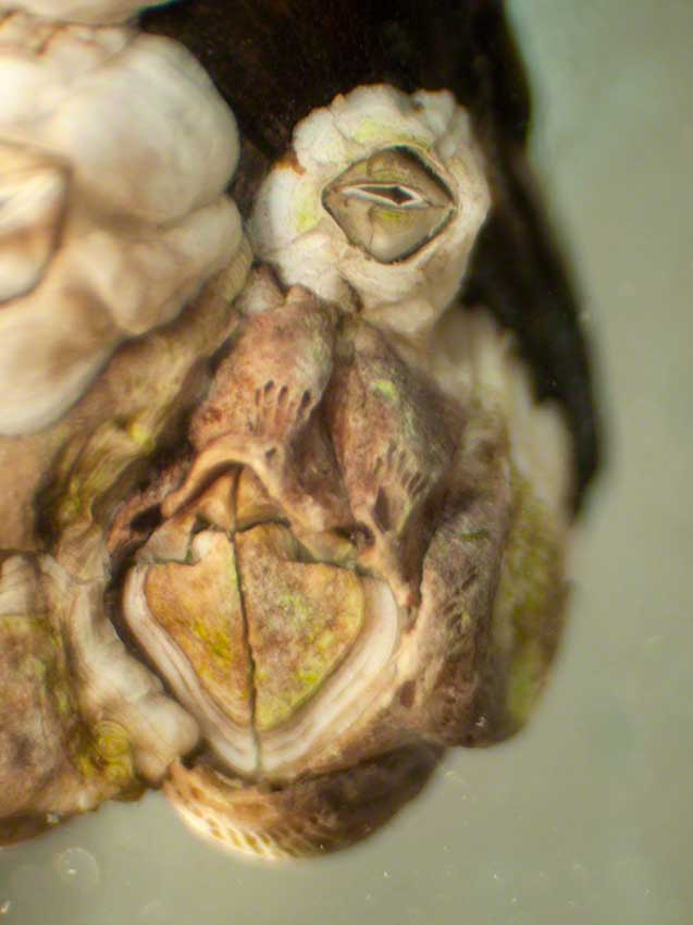 Littlehampton: Semibalanus balanoides