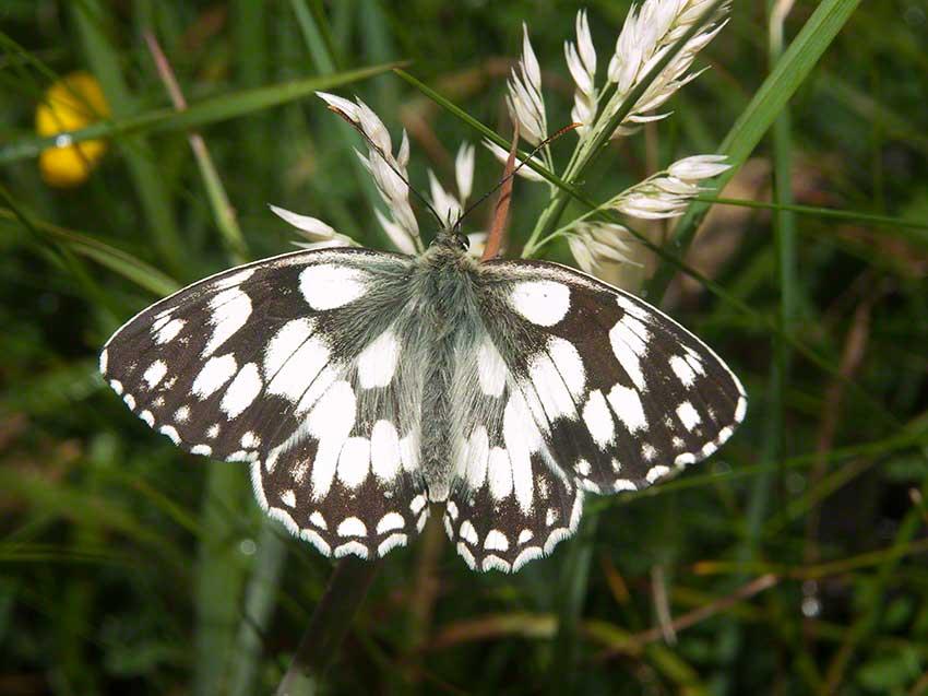 Marbeld White, Melanargia galathea, 2nd July 2015, Benfield LNR