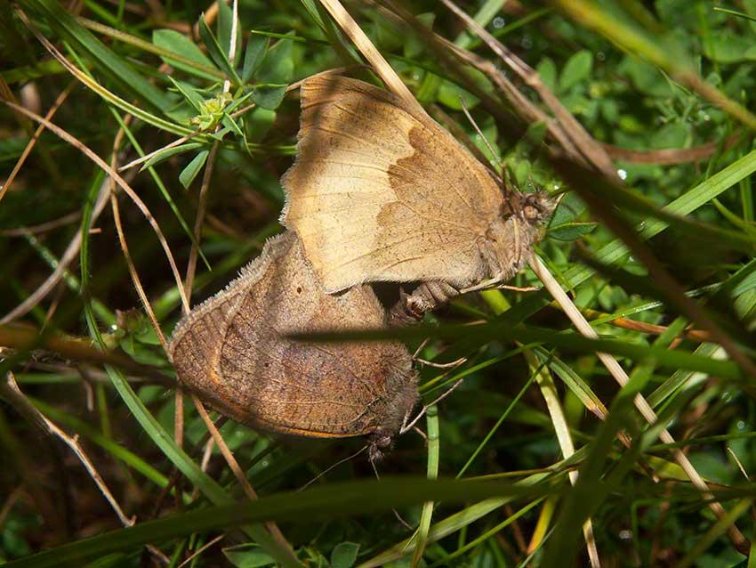 Mating Meadow Browns, Maniola jurtina, 2nd July 2015, Benfield LNR