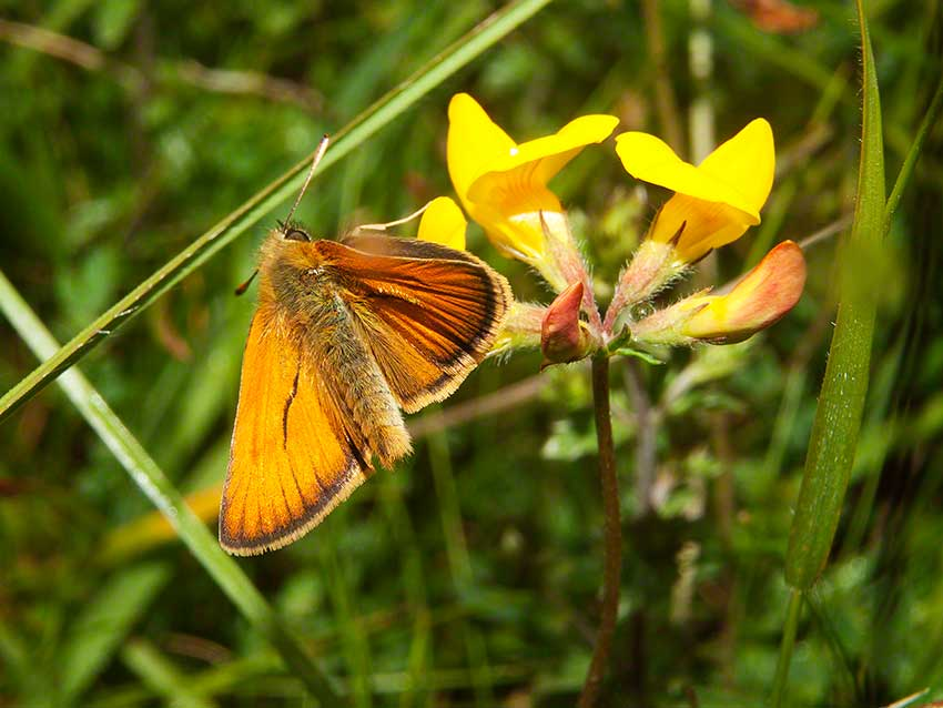 Small Skipper, Thymelicus sylvestris, 2nd July 2015, Benfield LNR