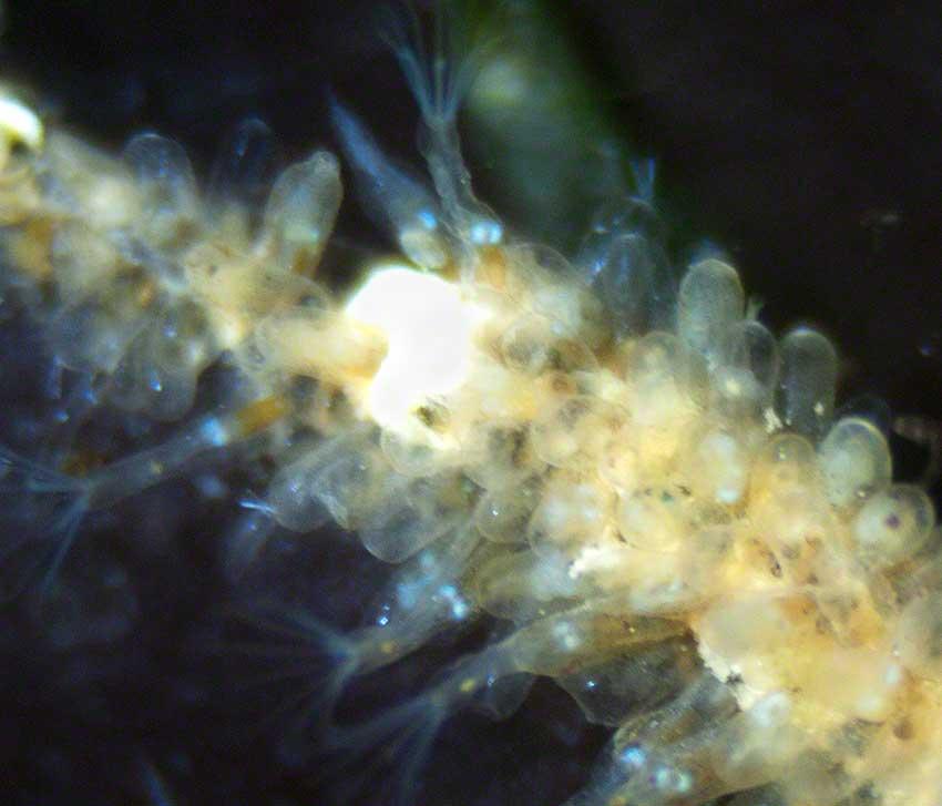 Bowerbankia on Chondrus crispus